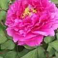 小区花坛的牡丹花开了