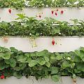设施大棚里的草莓、蓝莓和葡萄