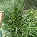 今天在外面扯的野草,拿回来当盆栽,这是啥草