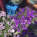 觉得紫色的花真好看啊