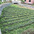 茶季结束,为了来年的早茶更有养分,茶园都要修剪一次,而扦插在棚里的新培育的白...