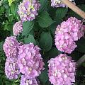 露台花园,五月是绣球的主场。 养花千日看花一时啊,珍惜美美哒花季。