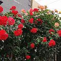 小区里花开了,不懂这是月季还是蔷薇?