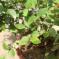 种蓝莓,后续(2)