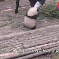 国宝势要做腿部挂件,好萌~