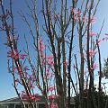粉红色的香椿