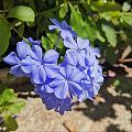 坐在秋日的陽光里,望著院里的幾株藍雪花,開得那么燦爛,那么奔放