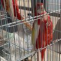 鹦鹉 朋友送了两只鹦鹉 求鉴定是什么品种,大概多少钱?好知道怎么回礼