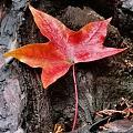 你看过吗?香山红叶