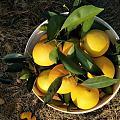 今年雨水少,脐橙都长的更小