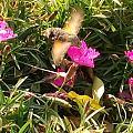 水一贴第一次见到的蜂鸟蛾