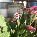 早上浇花发现蟹爪兰快开了,还找到了一颗小樱桃