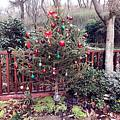 新年第一天-圣诞树地栽了~