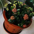 新成员长寿花和水仙