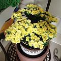 开满了的长寿花