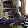 猫猫拜拜图