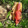 后院的小红狐狸