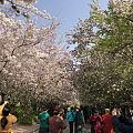 海棠花街完全盛开了。