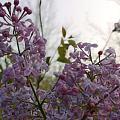 丁香花,梦幻紫