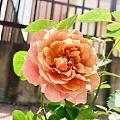 晒晒今年春天第一朵月季花