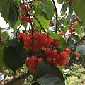又到了吃樱桃🍒的季节