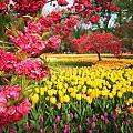 植物园的郁金香