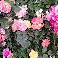 今天散步的时候出门早,终于能拍几张花了。往年五一正是看花时,今年宅在家里,好...