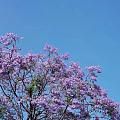 最美成都- - -蓝花楹
