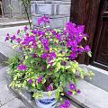 古街上的各种花!