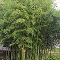 雨后的竹子显得格外青翠,芭蕉与藤配起来无比的美