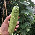 第一个黄瓜🥒