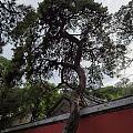 戒台寺游记 百年古刹新砖墙, 千年老树有清香。 佛祖台前无尘染, 供果分予众...