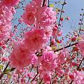 北京终于也到春天了,今天在小区遛狗,顺手一拍,都是美景