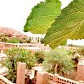 吐鲁番的葡萄