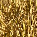 海淀最后一块尚未收割的稻田