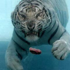 聪明帅老虎