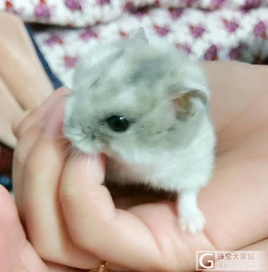 分享一只萌宠_仓鼠
