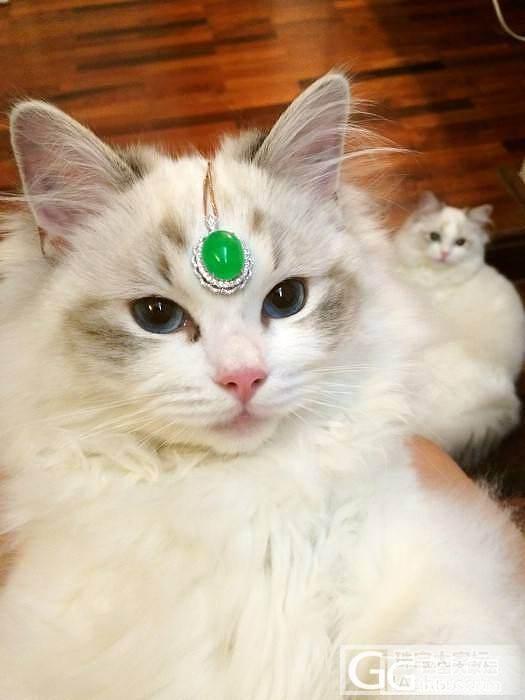 盖个楼,闲聊下我们家的布偶猫~_宠物