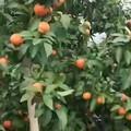 没有人想吃砂糖橘吗?