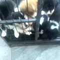 一个月左右的小奶狗,跟小土匪一样可爱。