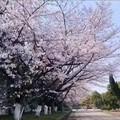 厂里的樱花开了,美好景色与大家共赏
