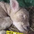 做美梦的羊