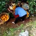 脐橙的保存方法