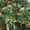 来感受砂糖橘的甜蜜吗?
